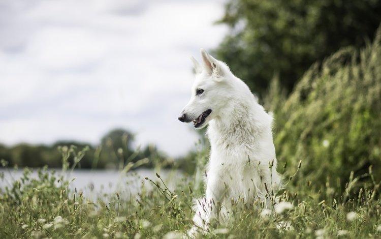 природа, мордочка, взгляд, собака, друг, белая швейцарская овчарка, nature, muzzle, look, dog, each, the white swiss shepherd dog