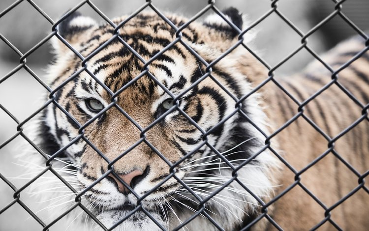 тигр, морда, усы, взгляд, забор, сетка, хищник, зоопарк, tiger, face, mustache, look, the fence, mesh, predator, zoo