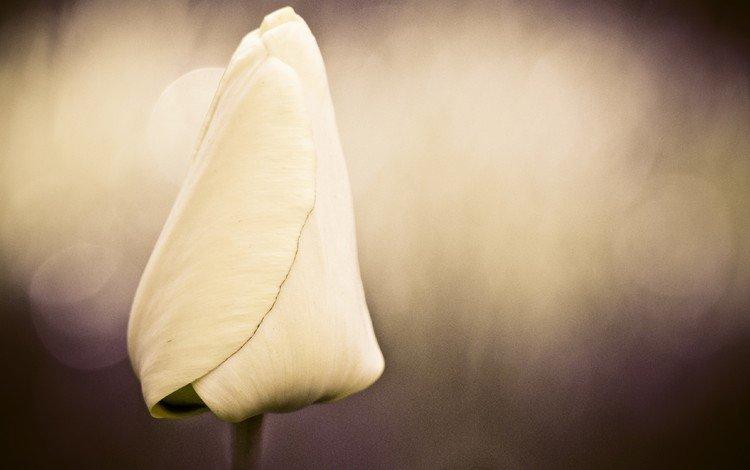 цветок, лепестки, бутон, тюльпан, боке, flower, petals, bud, tulip, bokeh