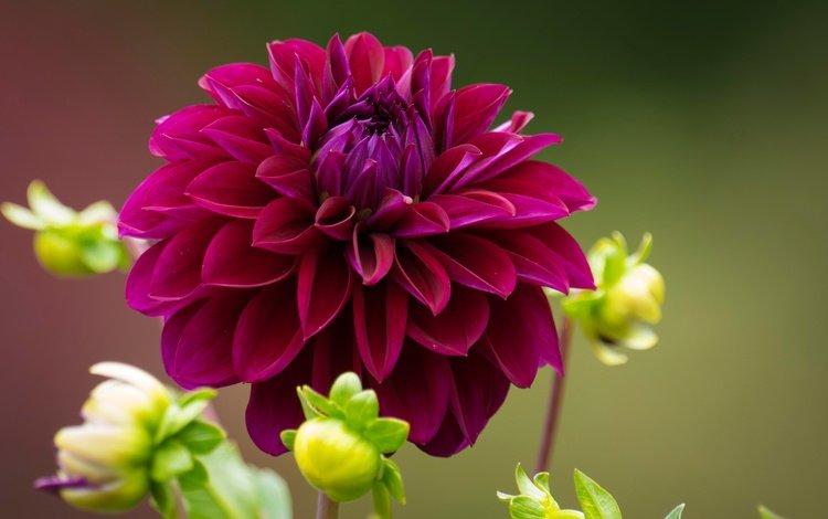 цветы, бутоны, макро, лепестки, георгин, flowers, buds, macro, petals, dahlia