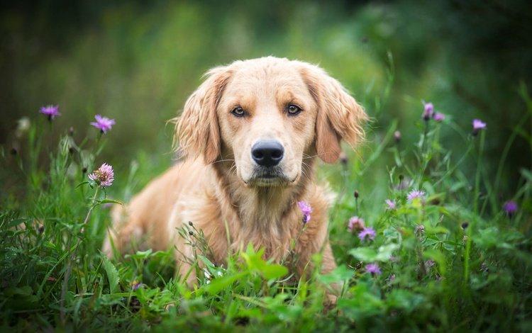 flowers, grass, muzzle, look, dog, meadow, bokeh, golden retriever