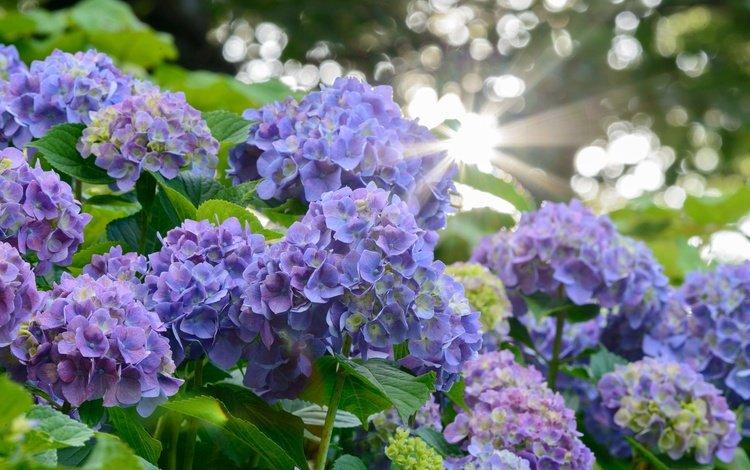 цветы, лучи солнца, размытость, соцветия, гортензия, flowers, the rays of the sun, blur, inflorescence, hydrangea