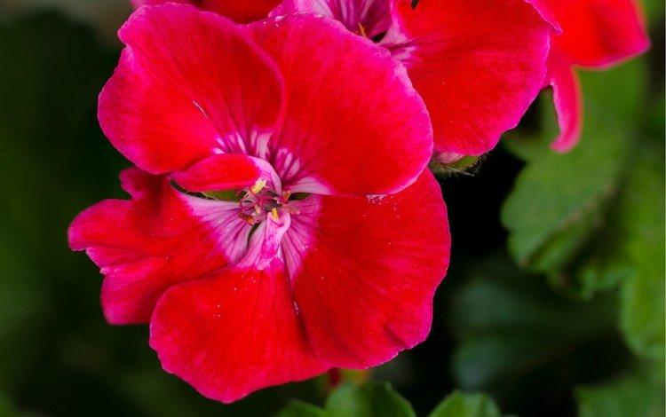 цветы, листья, макро, лепестки, герань, flowers, leaves, macro, petals, geranium