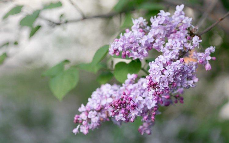 ветка, цветение, весна, сирень, сирени, branch, flowering, spring, lilac