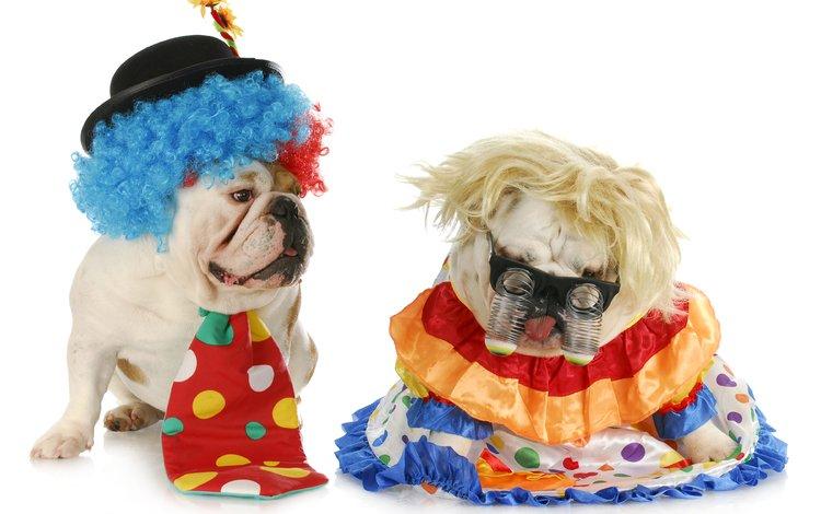 humor, white background, clown, costumes, tie, dogs, english bulldog, masquerade