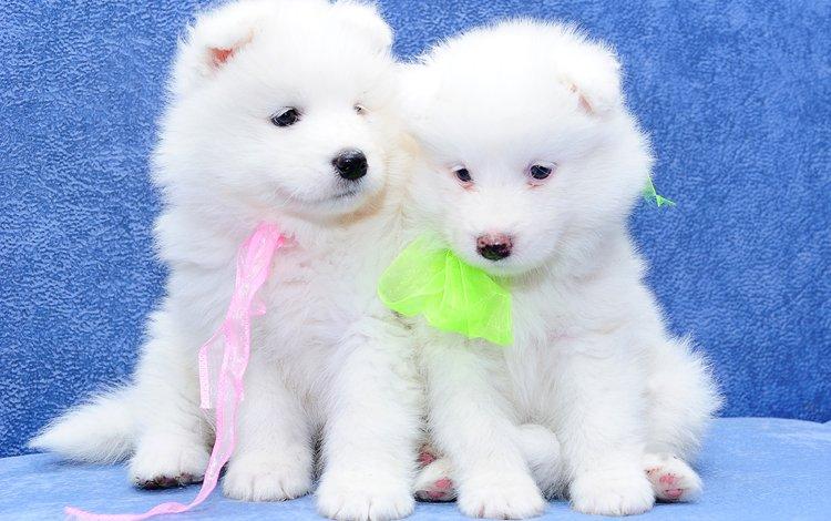 a couple, fluffy, white, blue background, puppies, dogs, samoyed, the samoyed