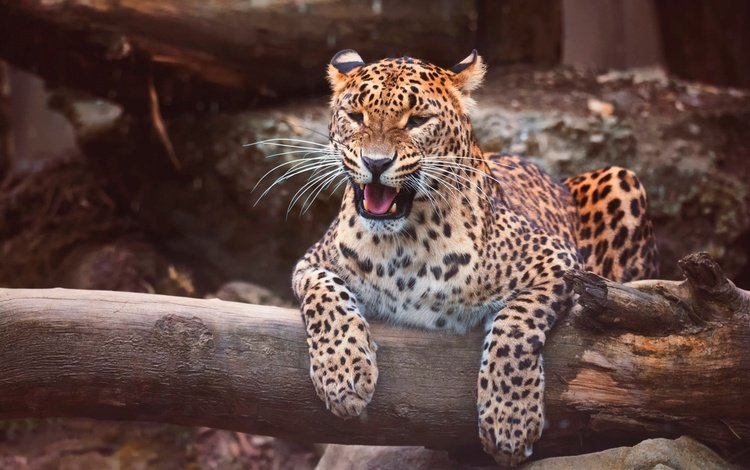 face, tree, pose, mustache, paws, look, lies, leopard, the dark background, language, grin, mouth, log, zoo, wild cat, dissatisfaction