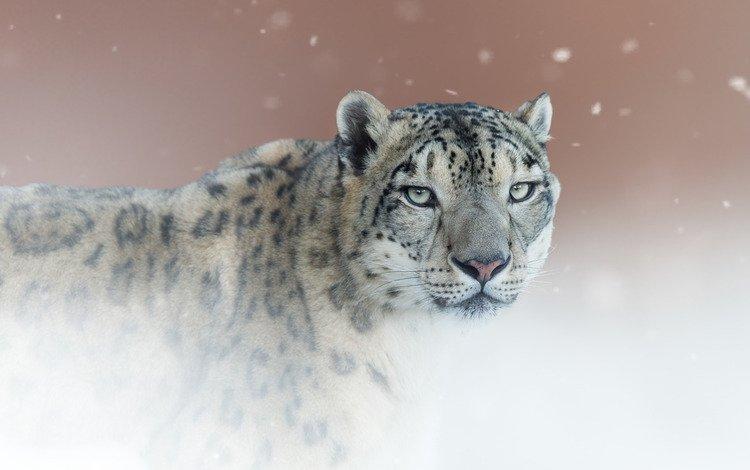 background, portrait, look, snow leopard, irbis, wild cat