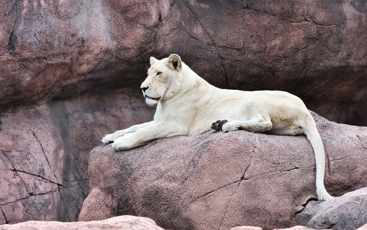 face, rocks, stones, pose, paws, look, lies, beauty, white, tail, lioness, zoo, proud, queen, important