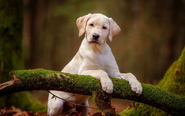 nature, forest, background, pose, paws, look, white, dog, puppy, moss, baby, snag, labrador, retriever, cute, stand