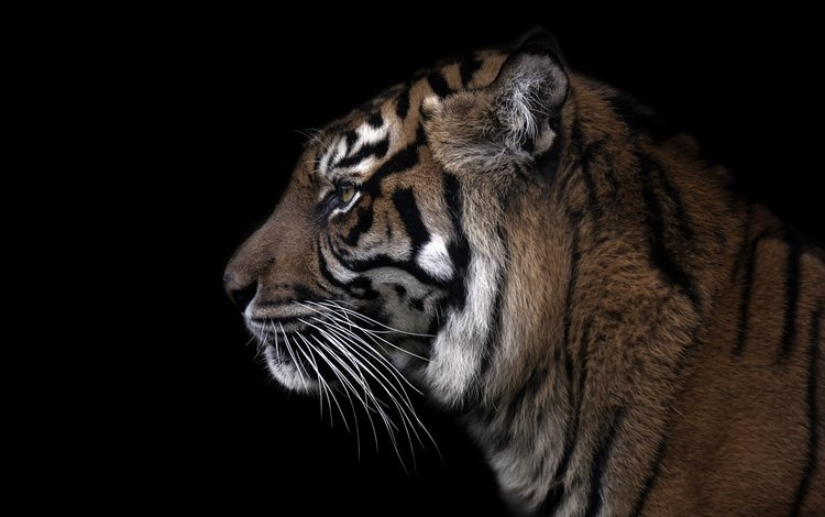 tiger, face, background, mustache, beast