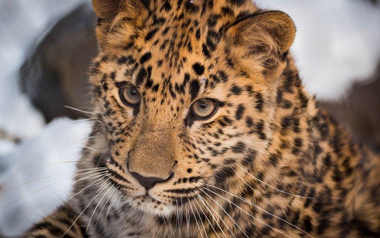 face, portrait, leopard, wild cat
