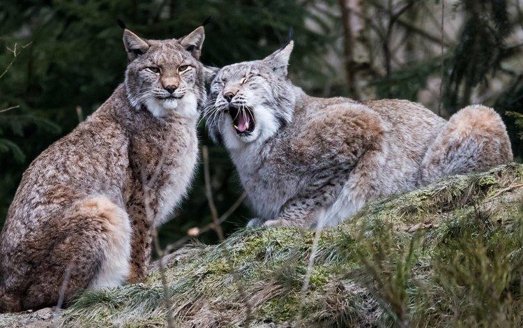lynx, pair, wild cat
