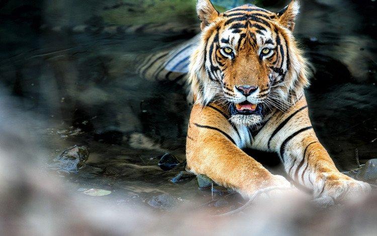 тигр, вода, поза, взгляд, лежит, feline, tiger, water, pose, look, lies