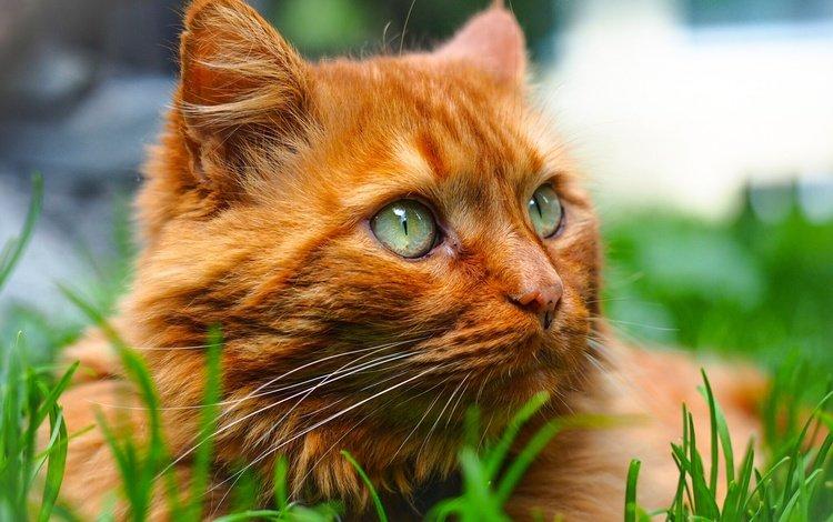 трава, портрет, мордочка, кошка, взгляд, рыжий кот, котейка, grass, portrait, muzzle, cat, look, red cat