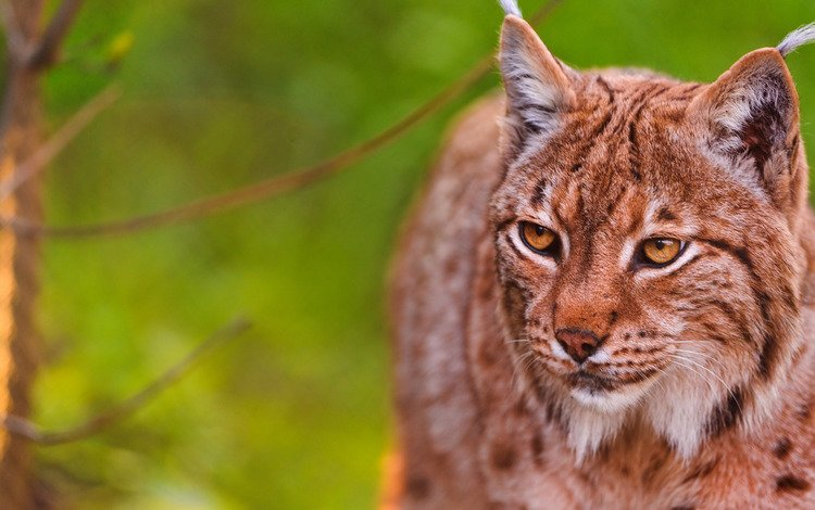 face, nature, lynx, portrait, branches, summer, cat, look, beauty, animal, green background, wild, golden eyes