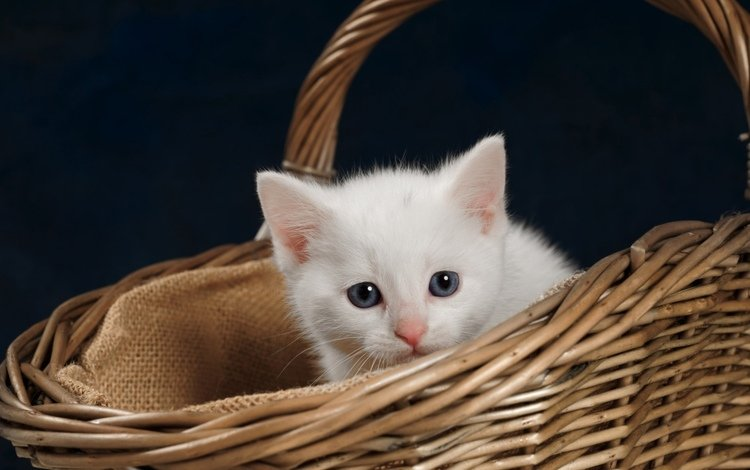 kitty, basket