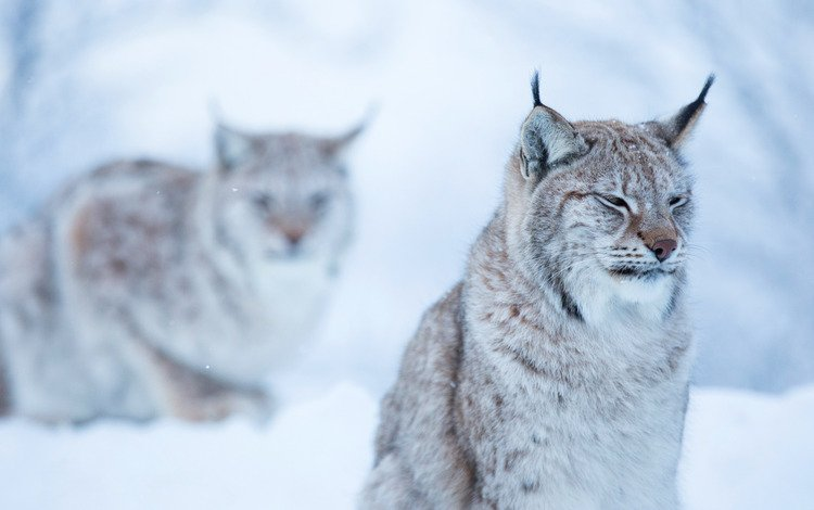 face, snow, forest, winter, background, lynx, cat, sitting, wild, two, dissatisfaction