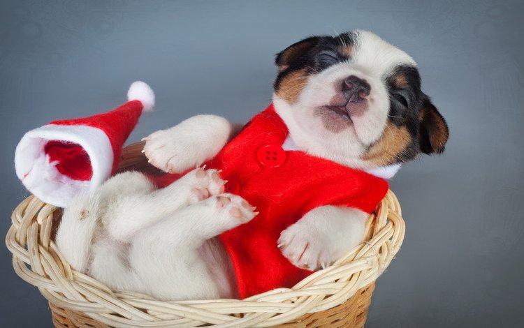 puppy, basket, costume, new, year