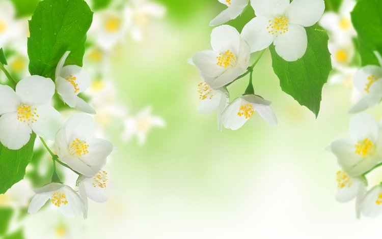 flowers, branch, leaves, freshness, beauty, stamens, spring, white, jasmine