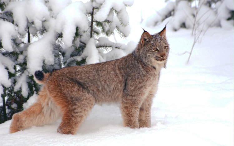 снег, рысь, snow, lynx