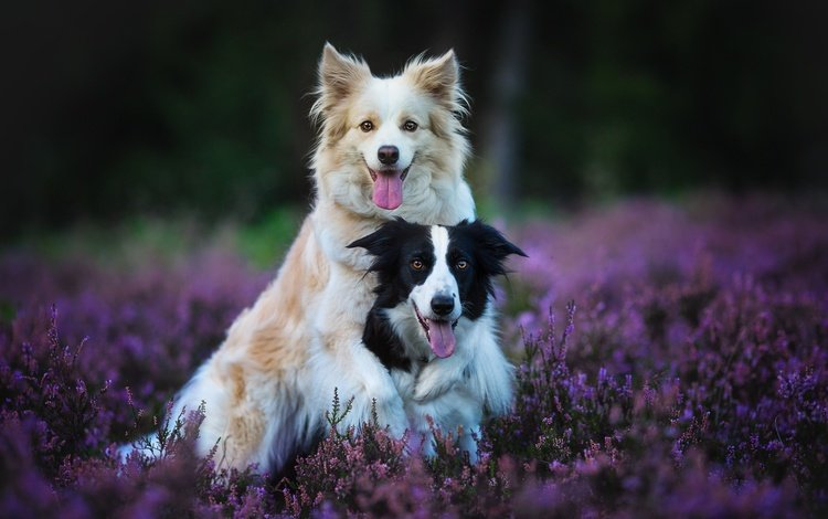 flowers, nature, forest, background, pose, glade, a couple, pair, language, friendship, friends, dogs, duo, muzzle, two, lilac