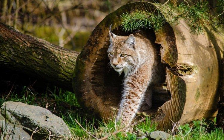 дерево, рысь, кошка, tree, lynx, cat