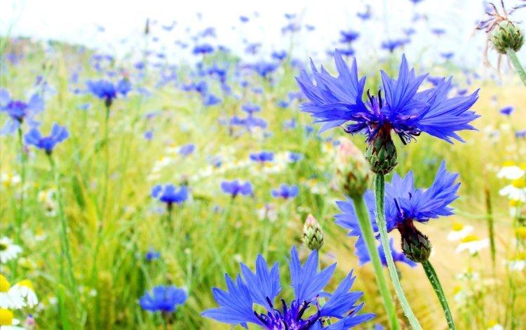 поле, лето, васильки, field, summer, cornflowers