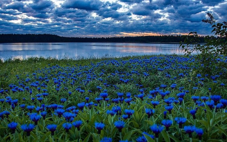 the sky, clouds, field, cornflowers river