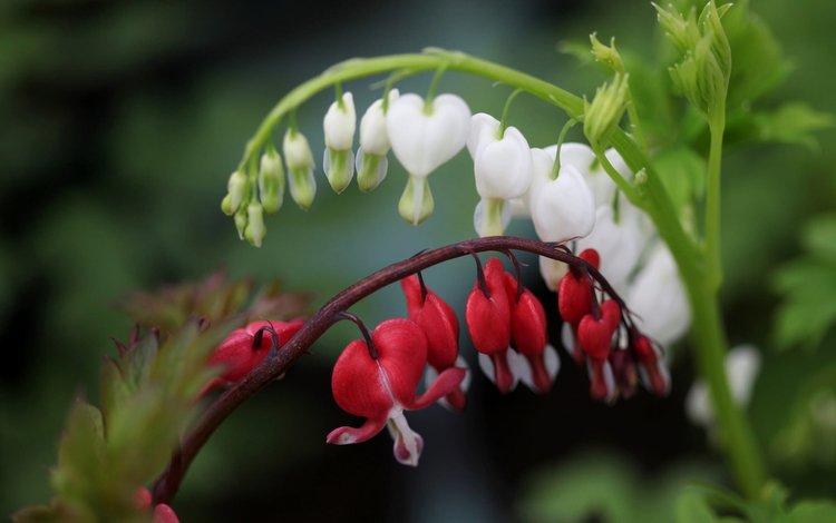 цветы, макро, боке, разбитое сердце, дицентра великолепная, flowers, macro, bokeh, broken heart, the bleeding heart is gorgeous