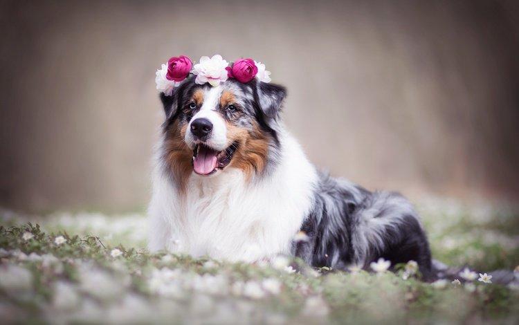 flowers, dog, wreath, bokeh, australian shepherd, aussie