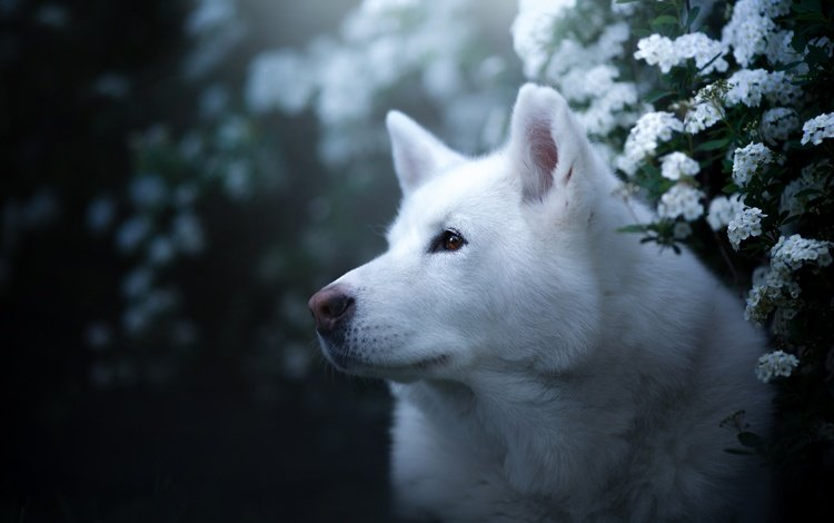 face, portrait, look, dog, husky, flowers, bokeh