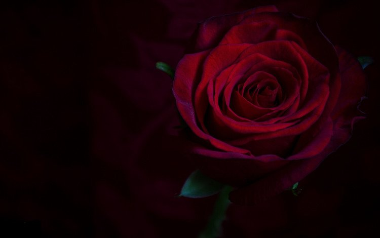 макро, фон, роза, бордовый, macro, background, rose, burgundy