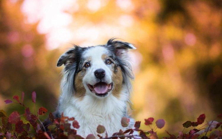 морда, листья, собака, боке, австралийская овчарка, аусси, face, leaves, dog, bokeh, australian shepherd, aussie