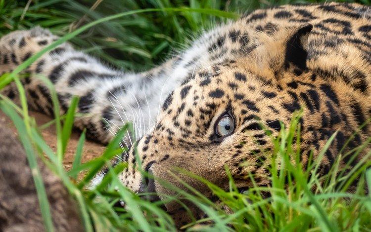 grass, pose, lies, leopard, eyes