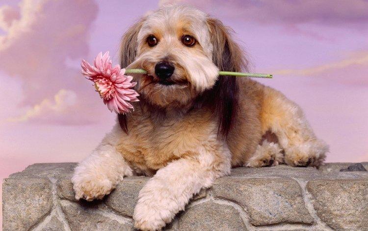 цветок, собака, животное, flower, dog, animal