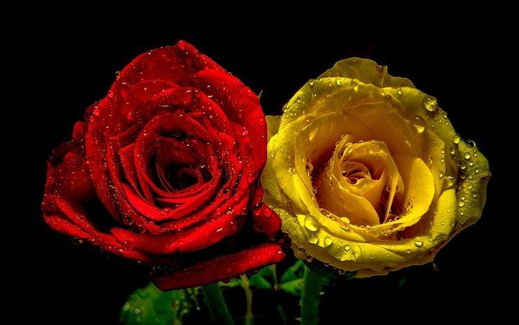 drops, roses, pair