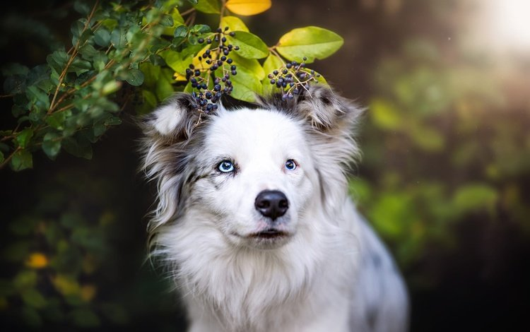 face, branch, nature, leaves, background, portrait, summer, look, dog, berries, blue eyes, white, bokeh, cherry, the border collie