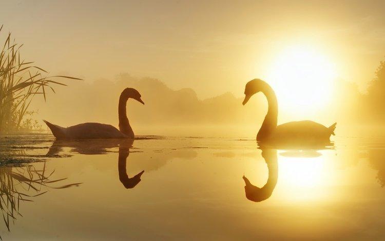 lake, nature, swans