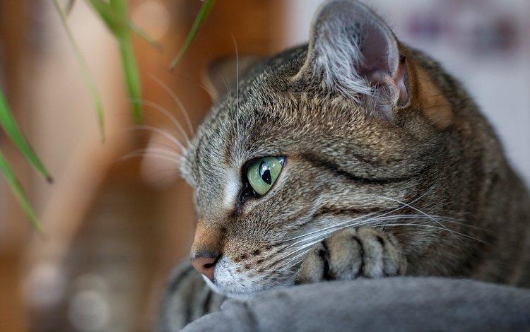 кот, усы, взгляд, cat, mustache, look