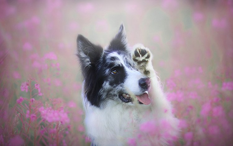 face, flowers, pose, portrait, field, summer, look, dog, glade, pink, language, paw, the border collie, ivan-tea