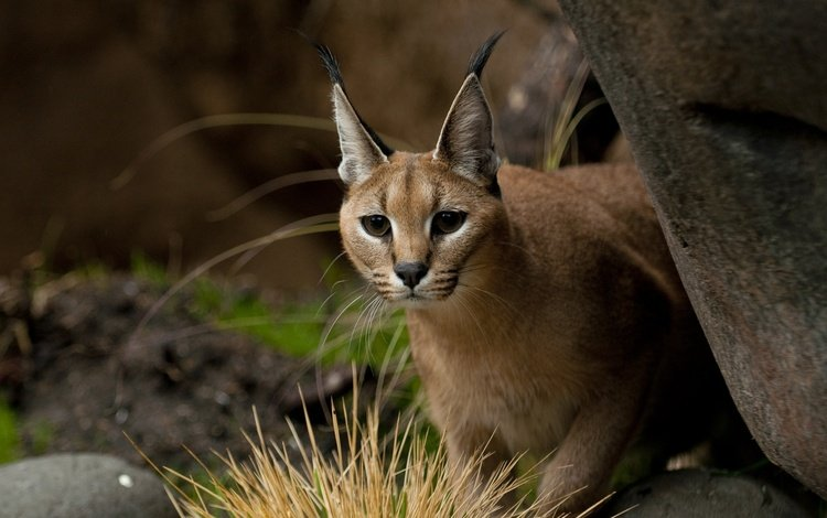 nature, background, pose, cat, look, brush, caracal