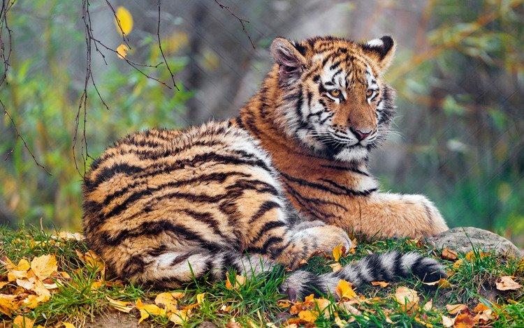 тигр, лежит, морда, тигренок, малыш, природа, боке, листья, фон, листва, взгляд, осень, tiger, lies, face, baby, nature, bokeh, leaves, background, foliage, look, autumn
