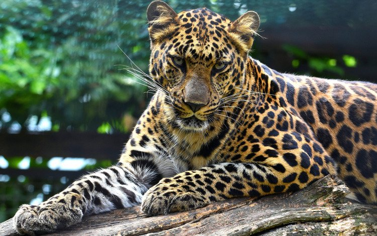 face, leaves, background, pose, paws, look, lies, leopard, log, zoo, bokeh