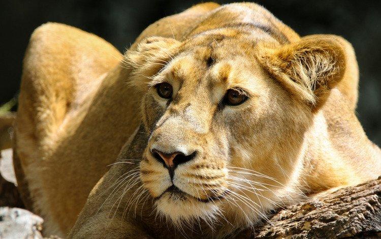 морда, львица, поза, зоопарк, портрет, молодая, взгляд, лежит, темный фон, крупный план, бревно, face, lioness, pose, zoo, portrait, young, look, lies, the dark background, close-up, log