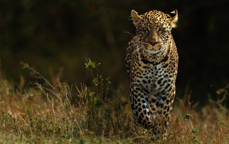 nature, background, look, leopard, walk, dark