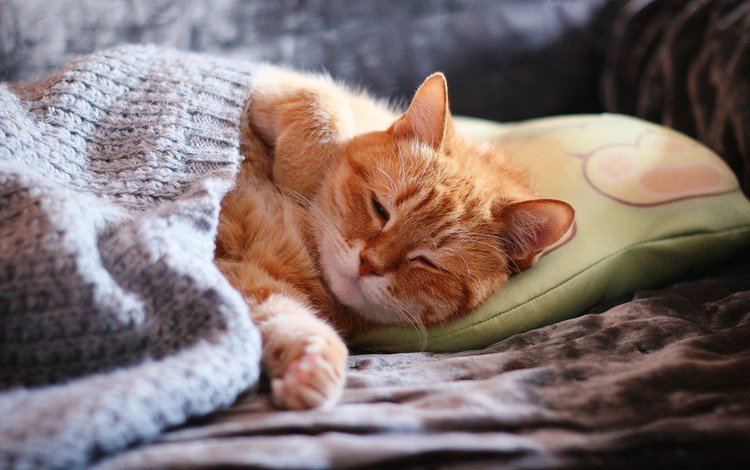 face, cat, paws, sleep, sleeping, red, sofa, comfort, pillow, blanket, closed eyes, home
