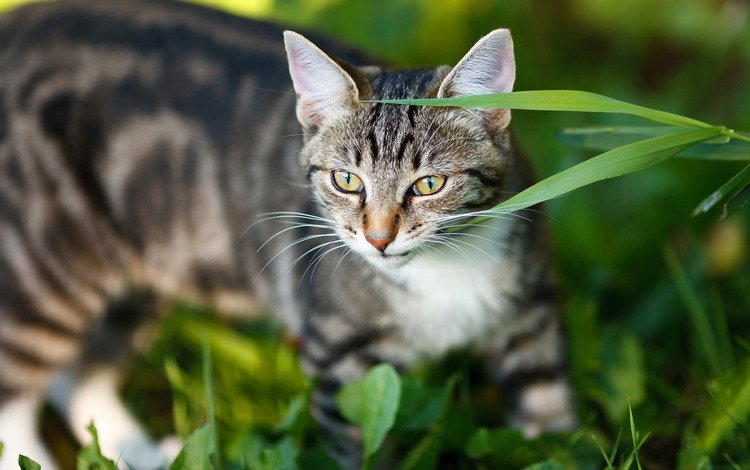 face, grass, portrait, cat, look, grey, striped