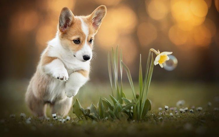 flower, dog, corgi