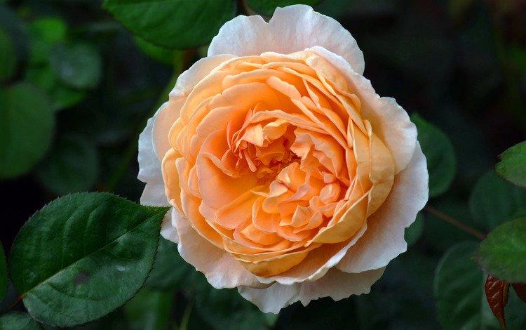 цветы, листья, фон, цветок, роза, сад, оранжевая, пышная, flowers, leaves, background, flower, rose, garden, orange, lush